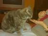 Saba øver sig i at sidde på skødet ved hjælp af godbidder. Bemærk de bagudvendte ører, som signalerer usikkerhed overfor situationen