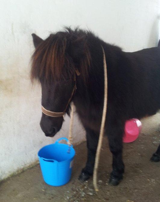Svala. Islandsk hest, der får TTouch